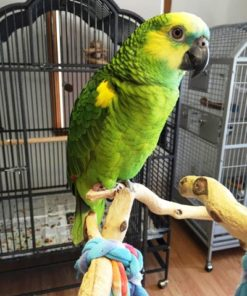 Robert-Blue Fronted Amazons Parrot For Sale