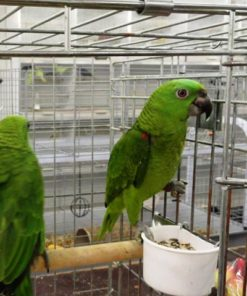 Jeffrey-Yellow Crowned Amazon Parrot For Sale