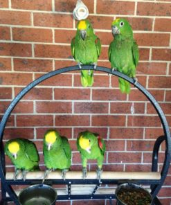 Todd-Yellow Crowned Amazon Parrot Sale