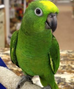 Rickie-Yellow Crowned Amazon Parrot For Sale