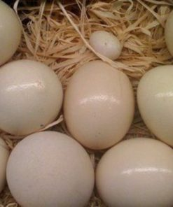 Cockatoo Eggs
