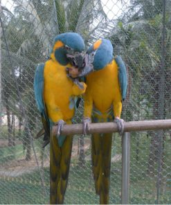 Blue-throated Macaws For Sale