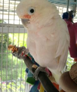Goffin's Cockatoo For Sale