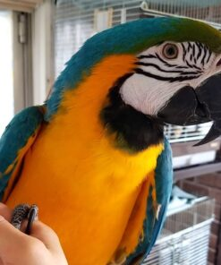 Adult Blue&Gold Macaw For Sale