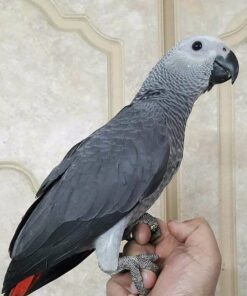 Romeo- African Grey Parrots for Sale