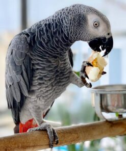 Kitoko-African Grey Parrots for Sale