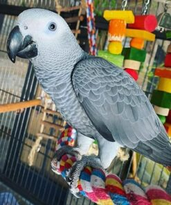 Gracy-African Grey Parrots for Sale