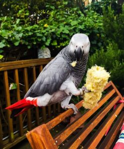 Martha-African Grey Parrot For Sale