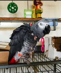 Dasha-African Grey Parrot For Sale