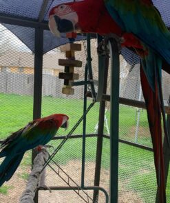 Green Wing Macaw For Sale