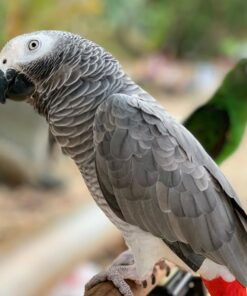 Colby-African Grey Parrots for Sale