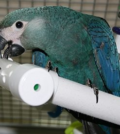 Spixs Macaw For Sale