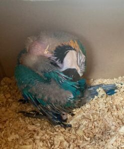 Blue and gold macaw baby For Sale