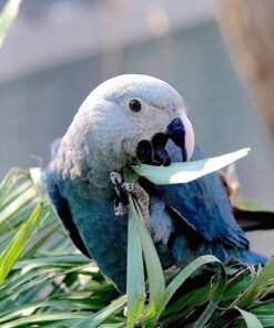 Spix's Macaw Parrot For Sale