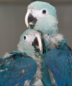 Baby Spix's Macaw Babies For Sale