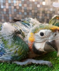 Catalina Macaw Babies For Sale
