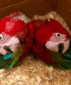 Greenwing Macaw Babies For Sale