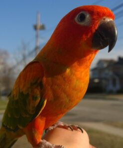 Red  Conure For Sale