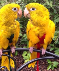 Golden Conure or Queen of Bavaria Conure For sale
