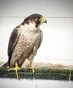 Northern goshawk Falcon