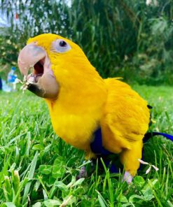 BUY GOLDEN CONURE FOR SALE