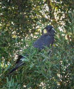 Yellow tail black cockatoo For Sale